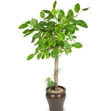 뱅갈고무나무 DE