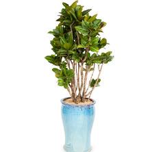 뱅갈고무나무 FW