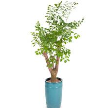 행복나무 FG