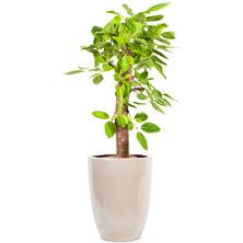 뱅갈고무나무 RJ