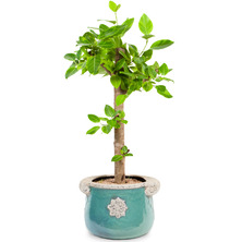 뱅갈고무나무 BU