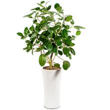 뱅갈고무나무 DP