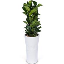 떡갈고무나무 SK