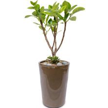 뱅갈고무나무 BK