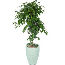 킹벤쟈민(운치를겸한식물)FO