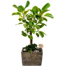 뱅갈고무나무 FR