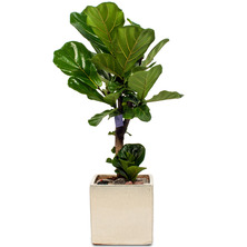 떡갈나무 BO