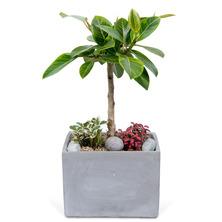 뱅갈고무나무(시멘트분)