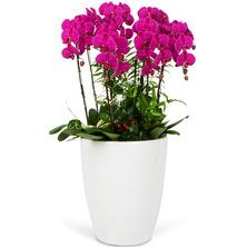 호접란 백자모듬식물(GT)