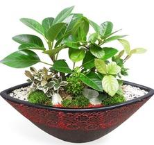 뱅갈모듬식물(테이블용)